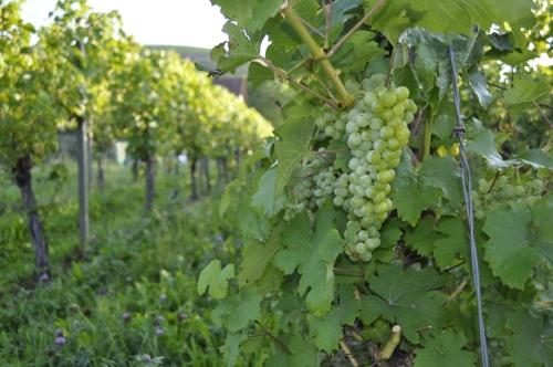 立派な葡萄が実り、収穫のときが近づいています。