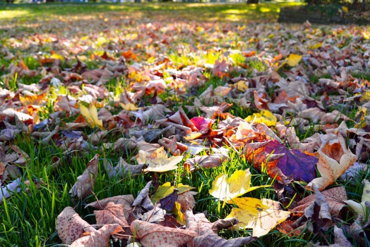 大木から芝に落ちた色とりどりの葉。陽の光を含めて秋の色だ Photo: Aki SCHULTE-KARASAWA