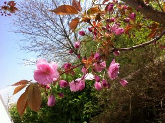 場所によっては桜も満開に