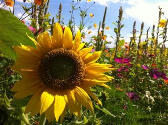 あちこちで咲く夏の象徴「ひまわり」