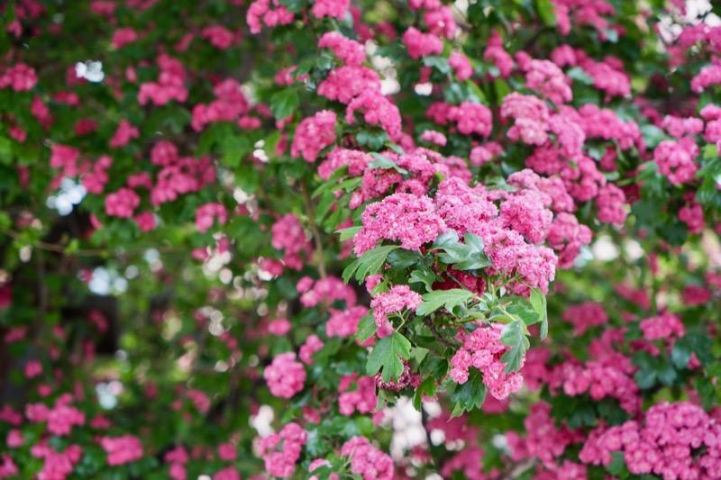 ロートドルン(Rotdorn)の花。