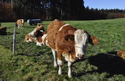 巡礼路のすぐわきには牛たちが。好奇心旺盛なのと、我関せずなのと。